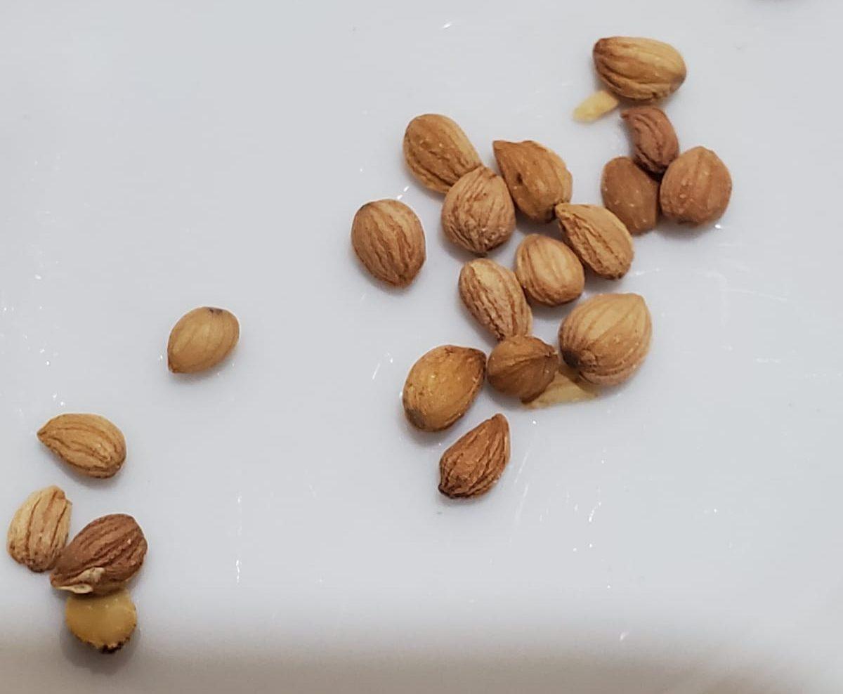 זרעי מחלב